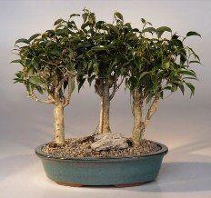 Bonsai Boy's Oriental Ficus Bonsai - 3 Tree Group ficus benjamina 'orientalis' Bonsai Boy http://www.amazon.com/dp/B00LSNN4RY/ref=cm_sw_r_pi_dp_OpDDwb0BDHMT2