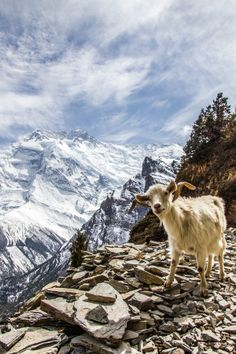 Goat of Annapurna by Marcus Danielsson on 500px