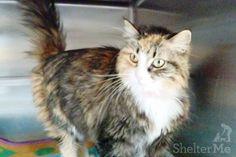 Lulu is the type of cat that needs to be at your side. She loves to receive affection but is a little touchy if you pet her on the sides of her body. This is because, when she came in, she had to have several mats of fur shaved off.