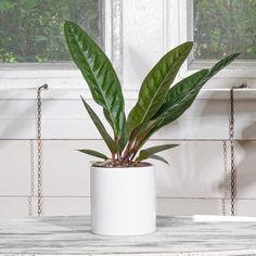 Organic Ceramics, Easy Care Plants, Plant Lighting, Grow Organic, Exotic Places, Large Plants, Plant Sale, Low Lights, Houseplants