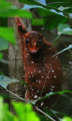 The Sunda Colugo<<This animal is so weird yet so cool!...Malayan flying lemur (huge membrane similar to flying squirrel, they glide0