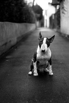 My Bull terrier will look similar when she is full grown