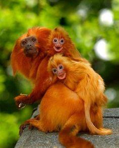 Golden-Headed Tamarins