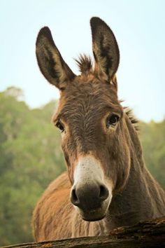 If you wonder what a donkey can eat, you can find all important feeding facts here. Take good care of your donkey with best information. Farm Animals, Animals And Pets, Cute Animals, Beautiful Creatures, Animals Beautiful, Donkey Rescue, Rescue Dogs, Cute Donkey, Donkey Pics