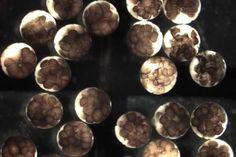 Embriões de sapos do gênero Xenopus foram modelo experimental para estudo do crescimento neuronal (Imagem:Wikimedia Commons)