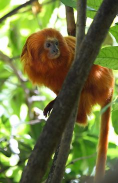 Golden Lion Tamarin by Lucy Hollis  Golden Lion Tamarin at the Bermuda Aquarium Museum and Zoo