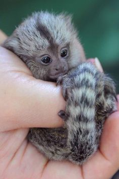 Oh my gosh that is the littlest monkey i have ever seen and I want one so bad
