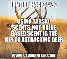 If you combine the use of a grunt call or rattling antlers with a tarsal attractant scent and . Bow Hunting Deer, Whitetail Deer Hunting, Quail Hunting, Hunting Gear, Archery Hunting, Funny Hunting, Hunting Stuff, Turkey Hunting Season, Hunting Quotes