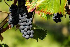 Immagine gratis su Pixabay - Uva, Frutta, Blu, Viticoltura