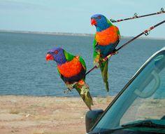 Larrikin Lorikeets at Fairbairn Dam near Emerald, Central Queensland  Photo by: Darryl Graney