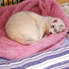 ʢ•·̫•ʡฅ<超だらりんちょかも〜♪ #ferret #pet #petstagram #instaferret #ferretgram