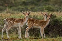 Deer by Caroline Wirtz on 500px