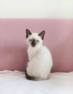We have a new family member: Pjoes, a Siamese-Ragdoll kitten. More on… We have a new family member: Pjoes, a Siamese-Ragdoll kitten. Siamese Kittens, Kittens Cutest, Cats And Kittens, Funny Kittens, Bengal Cats, White Kittens, Ragdoll Cats, Pretty Cats, Beautiful Cats