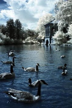 Duck Pond - Lake at Birkenhead Park Liverpool City Centre, Liverpool Town, I Miss You Everyday, Tourist Board, Infrared Photography, Duck Pond, Nice View, England, Birds