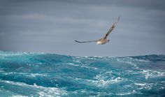 Southern Giant Petrel over the Scotia Sea