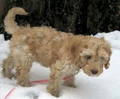 Sidekick Labradoodles Ivy Grace romping in the snow before her move to the PACNW and her entry into the family of Best Friends Forever Labradoodles! bfflabradoodles.com