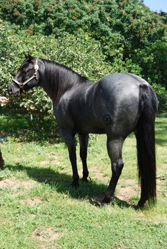 Quarter Horse stallion, Kellys Blue King.