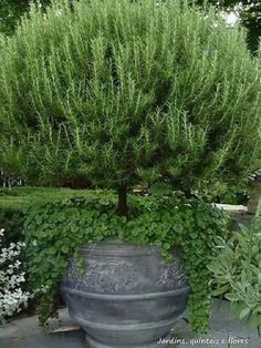 5 Favorites: The Perfect Rosemary - Gardenista - Love this potted rosemary tree. Love this potted rosemary tree. Love this potted rosemary tree. Container Plants, Container Gardening, Garden Pots, Vegetable Garden, Potted Garden, Potted Plants, Herb Pots, Potted Trees, Zinc Planters