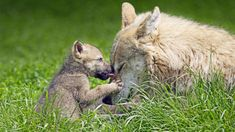Bing Image Archive: Mother wolf and pup (© Ronald Wittek/age fotostock)(Bing United States)
