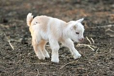 Baby goat    It is not a cria, but it is soooo cute!