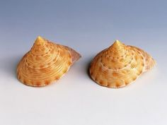 Some Beautiful and Rare Shells