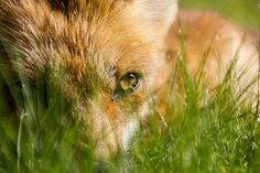 Fox Photo by Tiziano Hurni Cranston -- National Geographic Your Shot