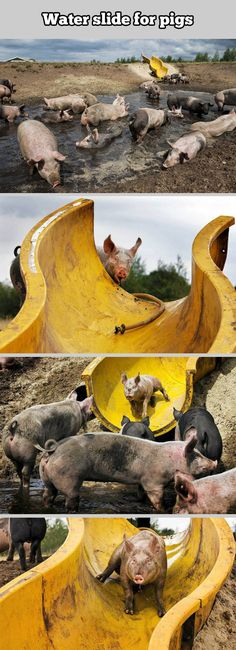 A water slide for pigs… this is infact the coolest thing ever... In the history of the internet