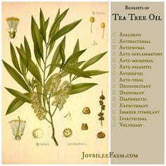 Tea Tree oil is essential for your first aid kit - Joybilee Farm - 21 ways to use tea tree oil