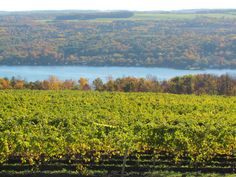 Changing colors, ripe grapes, Harvest is a beautiful time of year!