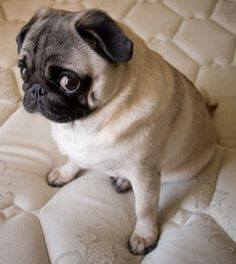 Pug Pug With Images Cute Pug Puppies Pug Puppies Pugs