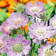 """Scabiosa caucasica Plant - Goldingnesis : deal for cutting This lovely 'Pincushion Flower' produces pale blue florets with showy petals and grey-green foliage. Flowers late July-August. Height 45cm (18""""). Supplied in a 1 litre pot. (EG April 2013)"""