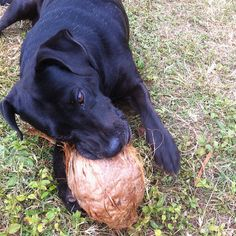 This is Grabbers the coconut eating dog. He lives in Hawaii and loves those coconuts!! In fact, left long enough with a coconut, he will break all the way through the shell and eat the meat inside. Doesn't get much cooler than that :) ~~~ #funny #cute #coconut #loving #dog