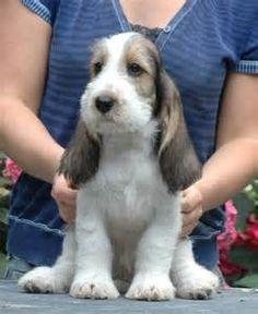 Grand Basset Griffon Vendeen- a different kind of Basset Basset Puppies, Hound Puppies, Basset Hound Puppy, Cute Puppies, Cute Dogs, Dogs And Puppies, Dachshunds, Doggies, Petit Basset Griffon Vendeen