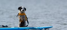 Stand-up paddle boarding is an ever-growing sport. You might as well get your dog involved! How do you get started in SUP with your pup? Here are some tips.