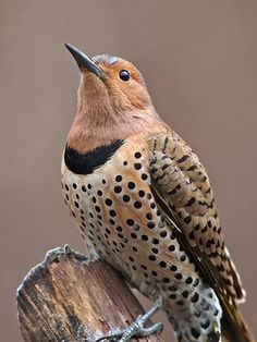 Female Northern Flicker. Polka Dots are so fashionable right now!