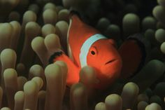 Amphiprion ocellaris, also known as the Ocellaris clownfish, False Percula clownfish or Common clownfish - Mabul Island, Malaysia by Mikel Hendriks