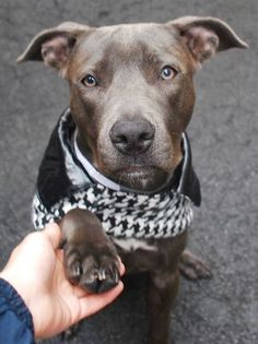 Manhattan Center SKYE – A1043934 ***RETURNED 10/02/15*** SPAYED FEMALE, GRAY / WHITE, AM PIT BULL TER MIX, 6 mos RETURN – ONHOLDHERE, HOLD FOR ID Reason ALLERGIES Intake condition EXAM REQ Intake Date 10/02/2015 http://nycdogs.urgentpodr.org/skye-a1043934/