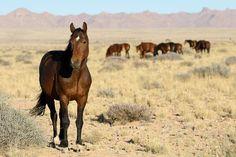 Le Cheval de Namibie - Le Cheval de Namibie dans le désert