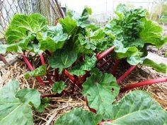 Rabarber - Diana's mooie moestuin Permaculture, Vegetable Garden, Plant Leaves, Flora, Herbs, Fruit, Vegetables, Green, Plants
