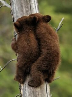 """Hey, I think we could make faster time getting up this tree if we went single file !"" ;-)  ---  Black Bear Cubs Climbing a Tree by Don Johnston"