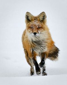 The Cherokees help to prevent frostbite by invoking fox medicine. ..of the heart too