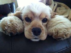 Choosing Cocker Spaniel Puppies For Sale American Cocker Spaniel, Cocker Spaniel Puppies, Cute Puppies, Cute Dogs, Dogs And Puppies, Doggies, Weimaraner, Beautiful Dogs, Animals Beautiful