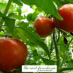 2 things you need to stop doing to your tomatoes right now!
