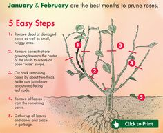 Winter Rose Bush Pruning | Rose Pruning Tips for California - Click for Printer Friendly Download