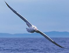 The albatross (a tropical bird) spends years flying. Albatrosses, of the biological family Diomedeidae, are large seabirds. They range widely in the Southern Ocean and the North Pacific. They are absent from the North Atlantic, although fossil remains show they once occurred there and occasional vagrants are found. Albatrosses are among the largest of flying birds, and the great albatrosses (genus Diomedea) have the largest wingspans of any extant birds, reaching up to 12 feet.