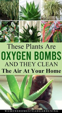 Everyone loves to keep their home clean and green with fresh air. Artificial air fresheners or room fresheners may not satisfy you all the time. So, it's time to throw out all artificial stuff to keep your room clean. Indoor Plants Clean Air, Air Cleaning Plants, Best Indoor Plants, Indoor Herbs, Indoor House Plants, Flowering House Plants, Inside Plants, Cool Plants, Cactus Plants
