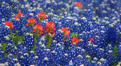 Blue Bonnets and Indian Paintbrush. So pretty. Makes me homesick for Texas.