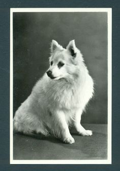 http://www.delcampe.net/page/item/id,95685649,var,d4931-real-photo-spitz-dog-postcard-Amag-37-very-good-unused-condition,language,G.html