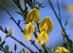 Spina Verde di Como Nature Park - Broom, an endemic species of the Park  http://lombardiaparchi.proedi.it/parchi-agricoli-e-forestali/parco-naturale-spina-verde-di-como/?lang=en