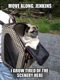 Pugs have a variety of facial expressions. For that reason, pug memes are funny and I hope these 101 dog memes featuring pugs bring a smile to your day! Pug Meme, Funny Dog Memes, Funny Dogs, Pug Humor, Hilarious Texts, Memes Humor, Funny Animal Pictures, Funny Animals, Cute Animals